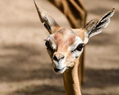 Flickr. Giraffe 3 days old. San Diego