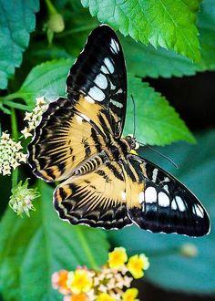 ~~Blue Clipper Butterfly by Marie Cardona~~