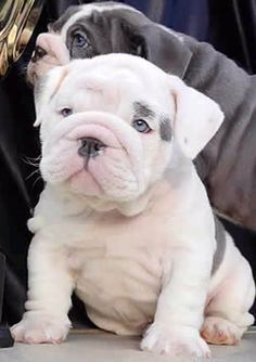 The major breeds of bulldogs are English bulldog, American bulldog, and French bulldog. The bulldog has a broad shoulder which matches with the head. Miniature English Bulldog, English Bulldog Puppies, Blue English Bulldogs, French Bulldogs, Mini Bulldog, Cute Baby Animals, Animals And Pets, Funny Animals, Cute Puppies