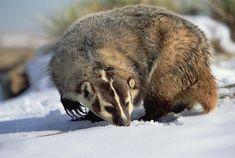 American Badger Taxidea Taxus, Colorado Photograph by Konrad Wothe ...