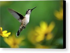 Hummingbird Flight Of Fancy Canvas Print by Christina Rollo.  All canvas prints are professionally printed, assembled, and shipped within 3 - 4 business days and delivered ready-to-hang on your wall. Choose from multiple print sizes, border colors, and canvas materials.