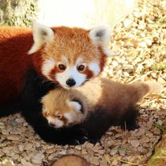 I think red pandas are under appreciated around here http://ift.tt/2rLnD10