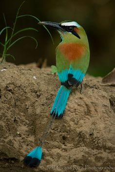 Turquoise Browed Motmot by Jeff Costa Rica