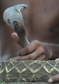 Indian snake charmers show their skills during a snake festival in the city of Bishnupur around 210 KM north west of Kolkata. The festival is organised as a part of special worship to the Hindu mythology goddess Manasha, the god of snakes.