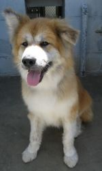 Turk is an adoptable Akita Dog in Santa Maria, CA. IN SHELTER:06/22/2011 D.O.B.:10/04/2006 Turk is an independent dog who likes hiking, playing chase with his human friends and down time in front of t...