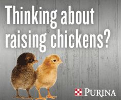 Buying equipment for raising chickens for eggs can be confusing. What do I need for food, water and shelter to care for my chickens?