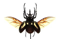 Chalcosoma atlas Butterflies, Insects, Nature, Stuff To Buy, Naturaleza, Butterfly, Nature Illustration, Off Grid, Natural