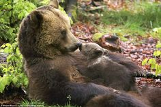 A tiny bear cub gives his mother a kiss while enjoying some quality time together in the Bavarian Forest National Park in Germany
