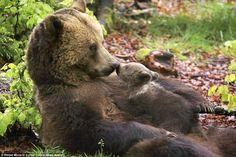 Bear cub and mother share an eskimo kiss http://dailym.ai/1pieVii