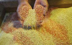 #Le génome du quinoa décrypté, sa culture devrait être facilitée - Sciences et Avenir: Sciences et Avenir Le génome du quinoa décrypté, sa…