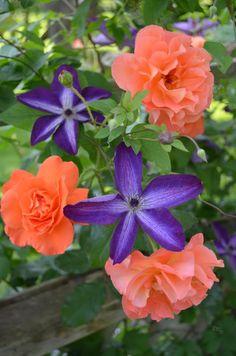 Clematis 'Venosa Violacea' (Clematis viticella) & Climbing Shrub Rose 'Westerland' (Rosa x hybrida)