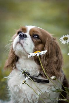 Photo Daisies by Anna Zhikulina on Cavalier King Charles, King Charles Spaniel, Beautiful Dogs, Animals Beautiful, Cute Animals, I Love Dogs, Cute Dogs, Dogs And Puppies, Doggies
