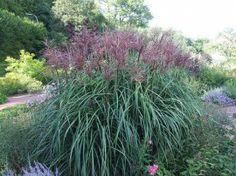 Miscanthus sinensis `Roter Pfeil` (Japans Sierriet)