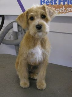 Schnoodle Hair Cuts | Schnoodle Haircuts