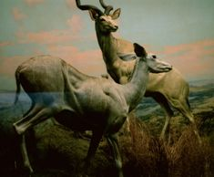 Portrait of a pair of Kudu (Antelopes) on an overlook. From the Human Nature Series Archival print on heavyweight luster photo paper. prints are open edition & signed verso. Marble Print, Romanticism, Giraffe, Camel, Photographic Prints, Horses, Wall Art, Portrait, Artist