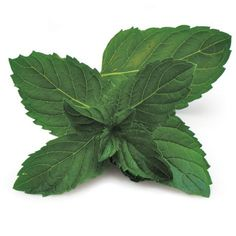 Mint is indispensable for the cook, but which mint? In this article, Susan Belsinger offers guidance on selecting and using this essential perennial herb.