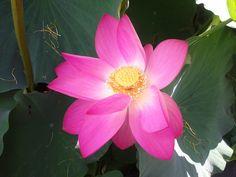 시흥의 연꽂 테마파크 관곡지에서 찍은 연꽃사진