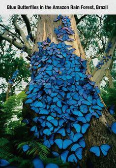 Blue Butterflies In The Amazon Blue Butterflies In The Amazon http://www.scienceandnature.science/2017/05/15/blue-butterflies-in-the-amazon/