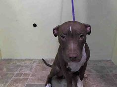 URGENT - Manhattan Center    MILO - A0993095    MALE, BROWN / WHITE, PIT BULL MIX, 6 mos  STRAY - STRAY WAIT, NO HOLD  Reason STRAY   Intake condition NONE Intake Date 03/04/2014, From NY 10460, DueOut Date 03/07/2014 https://www.facebook.com/Urgentdeathrowdogs/photos_stream