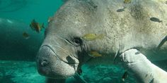 FWS: Don't Strip Manatees of Their Endangered Status!!!!!  http://www.thepetitionsite.com/takeaction/949/403/315/