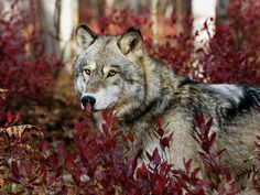 White Wolf : Breathtaking photos of wolves in the woods during the midst of Autumn.