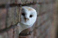 "Is he gone yet?  ""Barn Owl (Tyto alba)"" by Rick Wylie @ flickr.com"