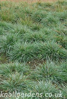 Sesleria caerulea Blue moor grass USDA 4-9 This compact blue green foliaged Sesleria is native to northern Europe and the British Isles
