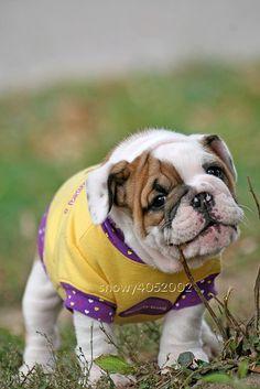Aren't I darling? :) #girl #clothing #costume #hearts #purple #yellow #cute #dogs #puppies #bulldog #English #pets #animals