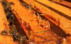 Propolis nedir? Propolis çiçeklerde ve ağaç kabuklarından bulunan ve arılar tarafından ihtiyaç duyulduğunda toplanan bir besindir. Çoğunlukla kahverengi ve sari renkli olmaktadırlar. Bilimsel araştırmalar sonucunda..