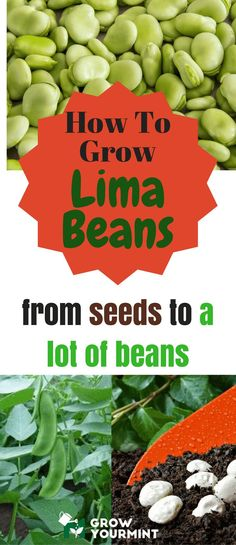 Learning how to grow lima beans was a thrilling and exciting experience. Therefore, here's my guide on this matter. Make your kitchen rich with Lima!