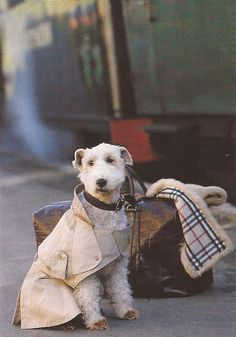 Patiently waiting for the Orient Express in a Burberry trench, with a Burberry blanket in tow ~ETS Fox Terriers, Chien Fox Terrier, Wire Fox Terrier, Love My Dog, Puppy Love, Orient Express, Fauna, Mans Best Friend, Just In Case