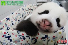 Taiwan's two-month-old panda cub has passed health check and is growing fast.