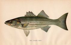 THE STRIPED BASS - Pennsylvania Fisheries Reports Prints 1895 - 1905  - SHERMAN DENTON Fish Prints