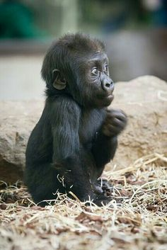 I want a baby gorilla so bad