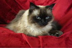 The Himalayan (a.k.a. Himalayan Persian, or Colourpoint Persian as it is commonly referred to in Europe), is a breed or sub-breed of long-haired cat identical in type to the Persian, with the exception of its blue eyes and its point colouration, which were derived from crossing the Persian with the Siamese.