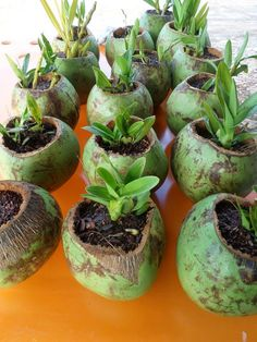 Beautiful Coconut Planters: An Exotic Decor For Balconies - Unique Balcony & Garden Decoration and Easy DIY Ideas Garden Crafts, Garden Projects, Garden Art, Garden Design, Orchids Garden, Orchid Plants, Bottle Garden, Plantar, Balcony Garden