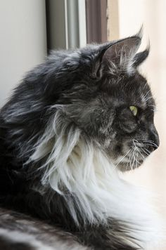 Nova | Maine Coon cat