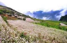 Buckwheat flower blooming over fields on steep and Slope Mountains.
