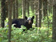 Black Bear in Cades Cove.