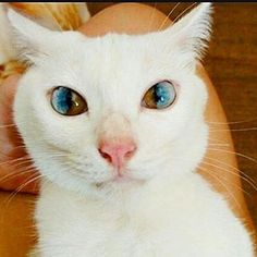 """16.5 mil Me gusta, 99 comentarios - 🎇🌍Cute Funny Cat Compilation🌍🎇 (@kats_are_crazy) en Instagram: """". 🌈Sectoral Heterochromia🌈 . Also follow us🐶@dogz_are_krazy🐶 . 💻Follow us on YouTube by clicking…"""""""