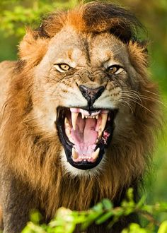 Warning Angry Animals, Animals And Pets, Watercolor Lion Tattoo, Aggressive Animals, C Is For Cat, Wild Animals Photos, Lion Love, Lion And Lioness, Male Lion