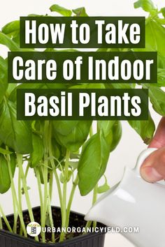 Are you planting basil in your garden or indoor kitchen? Learn how to grow basil in a pot or container. Also we guide you on how to grow basil indoors, maybe on the widow sill, or outdoors in pots. Lastly, we discuss how much water to give to your basil plant. #Herbs #GrowBasil #Houseplants #IndoorGardening #Gardening #UrbanOrganicYield