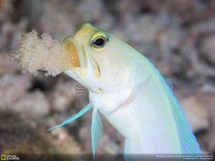 National Geographic A male yellow-headed jawfish opens his mouth to aerate the eggs. (Photo by Sabrina Li)  See more stunning shots from the National Geographic Traveler Photo Contest: http://on.natgeo.com/12Uj7Lz