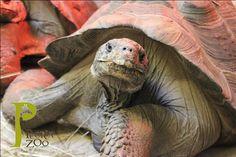 Galapagos Tortoises! Chuck and Darwin #peoriazoo #reptile