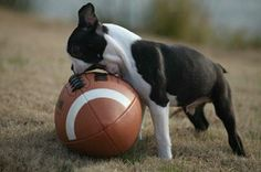 This is what my little bosten terrier would do! Hahaha! So funny, and so cute too!
