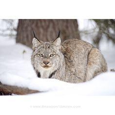 Wild Canadian Lynx. Banff National Park.