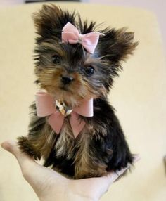 "Yorkie puppy cutie asks...""Do you like my pink bows?"""