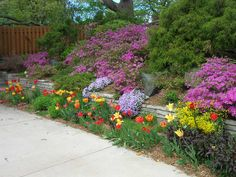 Spring time sunny slope with PJM Rhododendrons, tulips, and creeping phlox.  A stunning spring show!