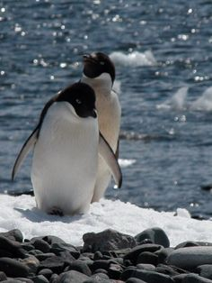 Best Adelie Penguins Images  Coin Grading Conservation Penguins The Adelie Penguins Of Antarctica Penguin World Penguin Love Photo Essay  Antarctica Cheap Professional Cv Writing Services also Purdue Online  Writing A Proposal Essay