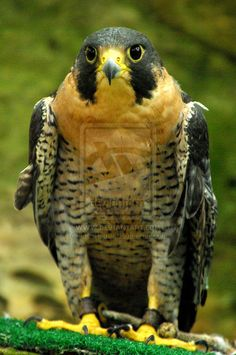 "The Peregrine Falcon (Falco peregrinus), also known as the Peregrine,[2] and historically as the Duck Hawk in North America,[3] is a widespread bird of prey in the family Falconidae. A large, crow-sized falcon, it has a blue-grey back, barred white underparts, and a black head and ""moustache"". As is typical of bird-eating raptors, Peregrine Falcons are sexually dimorphic, females being considerably larger than males.["